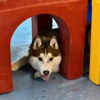 Husky-Playground